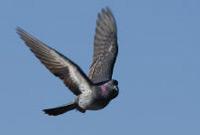 Caza de paloma en Pais Vasco